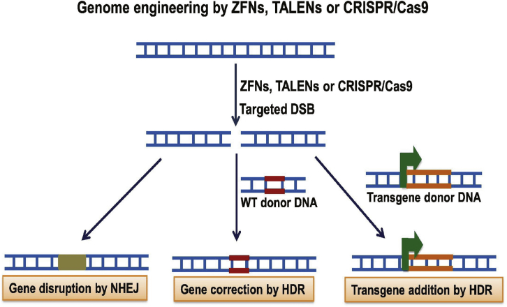 Programmable Molecular Scissors: Applications of a New Tool for Genome Editing in Biotech.